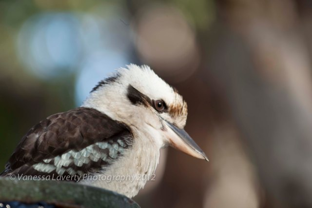 Kookaburra right near our campsite waiting for some leftovers