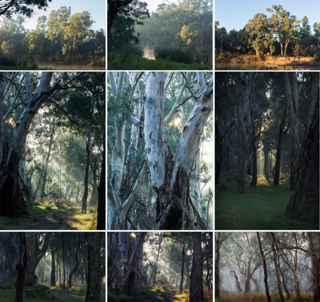 Rutherglen trees